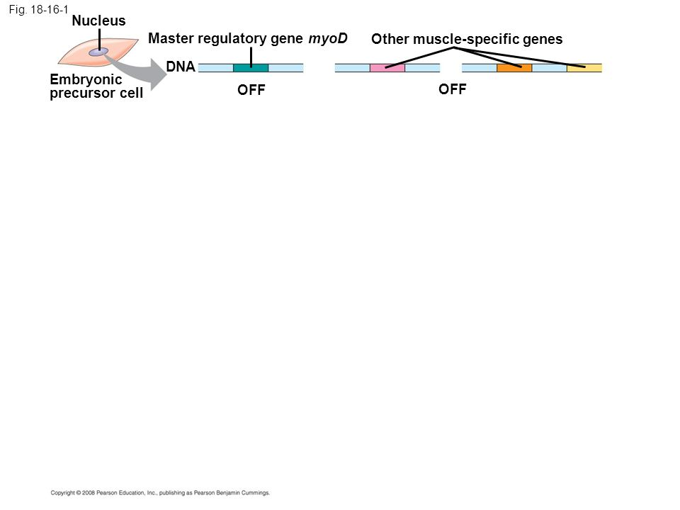 Fig. 18-16-1 Embryonic precursor cell Nucleus OFF DNA Master regulatory gene myoD Other muscle-specific genes OFF