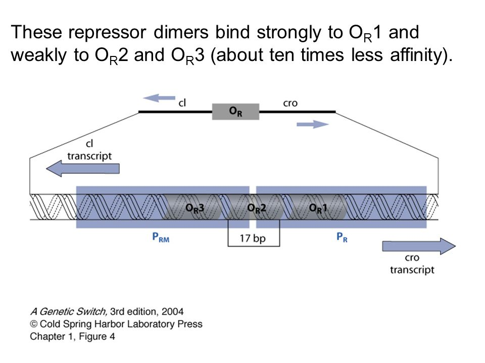 These repressor dimers bind strongly to O R 1 and weakly to O R 2 and O R 3 (about ten times less affinity).