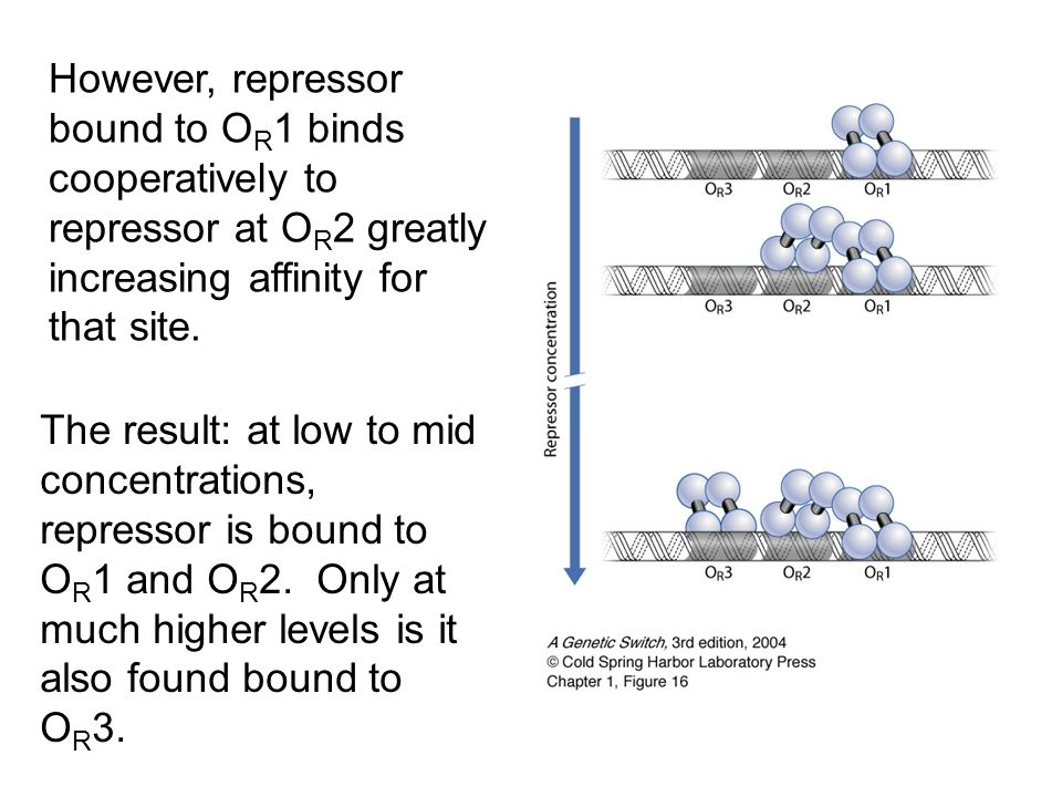 However, repressor bound to O R 1 binds cooperatively to repressor at O R 2 greatly increasing affinity for that site. The result: at low to mid conce