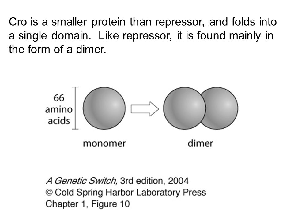 Cro is a smaller protein than repressor, and folds into a single domain. Like repressor, it is found mainly in the form of a dimer.