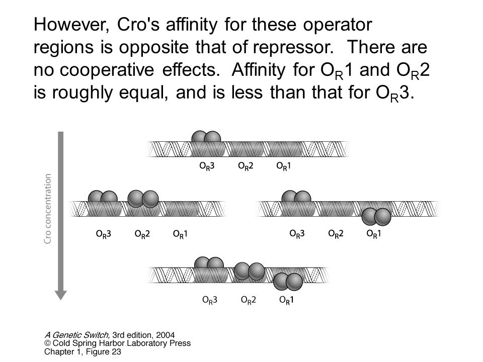However, Cro's affinity for these operator regions is opposite that of repressor. There are no cooperative effects. Affinity for O R 1 and O R 2 is ro