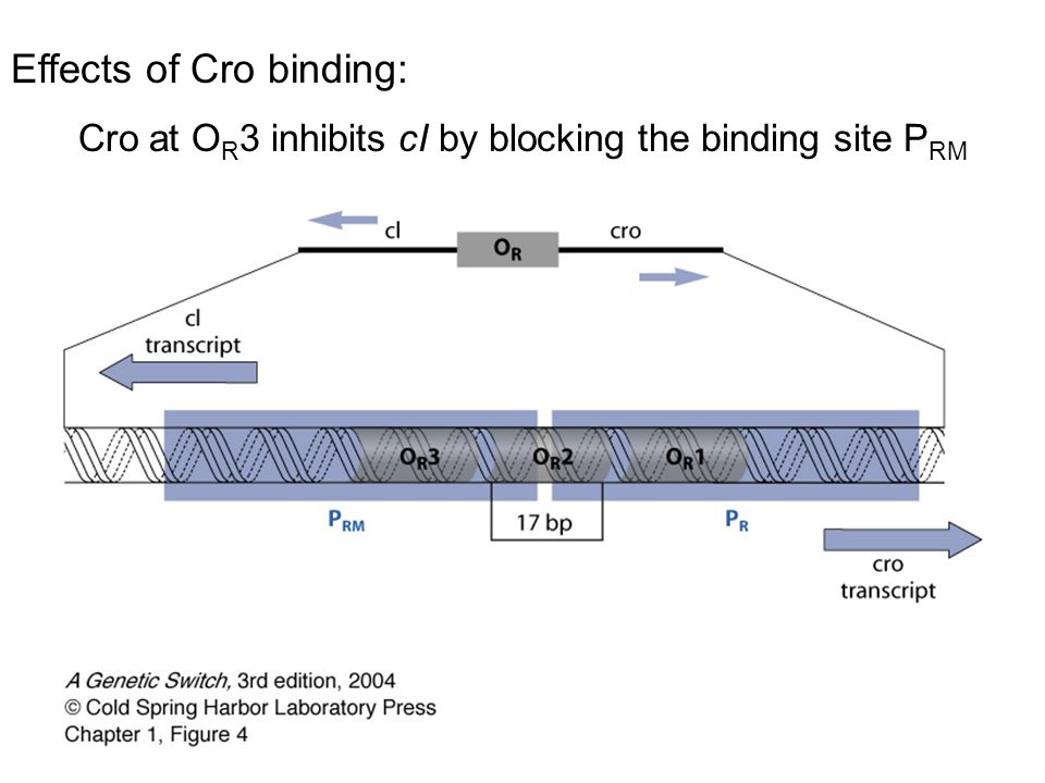 Effects of Cro binding: Cro at O R 3 inhibits cI by blocking the binding site P RM