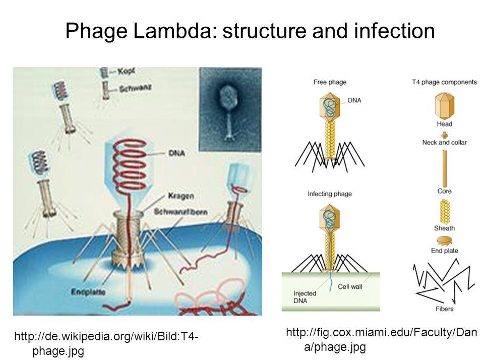 Phage Lambda: structure and infection http://de.wikipedia.org/wiki/Bild:T4- phage.jpg http://fig.cox.miami.edu/Faculty/Dan a/phage.jpg