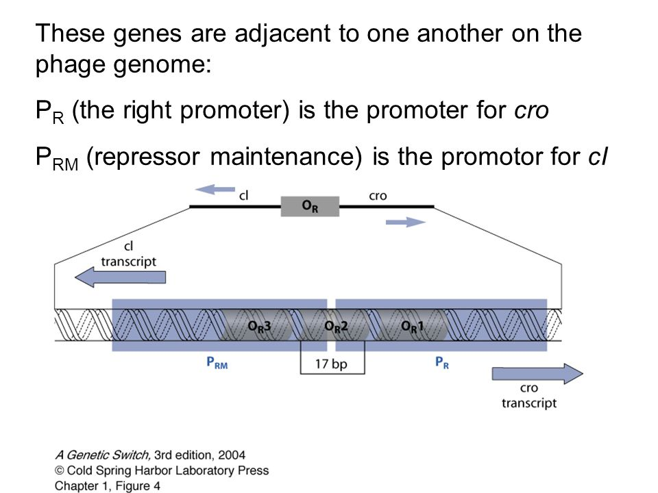 These genes are adjacent to one another on the phage genome: P R (the right promoter) is the promoter for cro P RM (repressor maintenance) is the prom