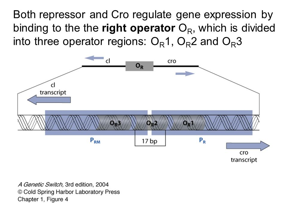 Both repressor and Cro regulate gene expression by binding to the the right operator O R, which is divided into three operator regions: O R 1, O R 2 a