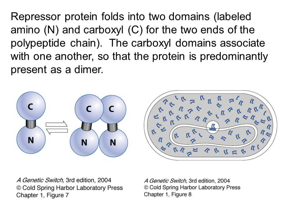 Repressor protein folds into two domains (labeled amino (N) and carboxyl (C) for the two ends of the polypeptide chain). The carboxyl domains associat