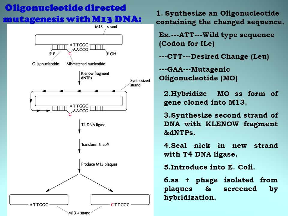 1. Synthesize an Oligonucleotide containing the changed sequence. Ex.---ATT---Wild type sequence (Codon for ILe) ---CTT---Desired Change (Leu) ---GAA-