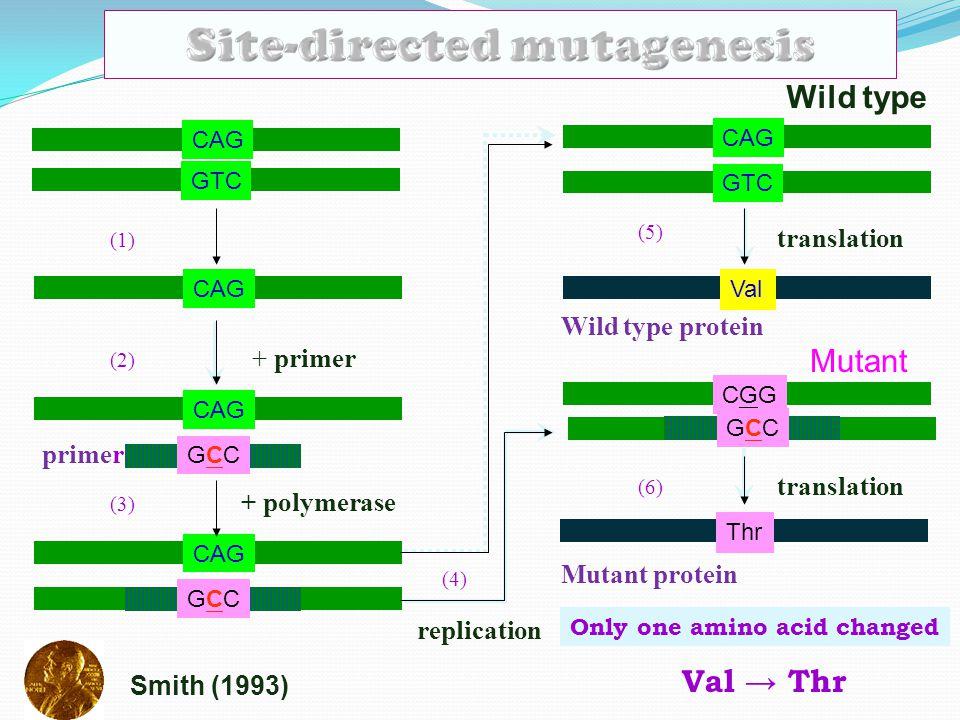 CAG GTC CAG + primer CAG primer GCCGCC + polymerase CAG GCCGCC replication CAG GTC Wild type translation Val Mutant Wild type protein CGGCGG GCCGCC tr