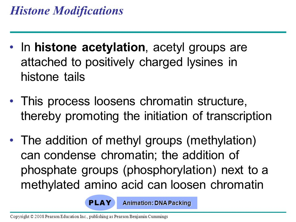 Copyright © 2008 Pearson Education Inc., publishing as Pearson Benjamin Cummings Histone Modifications In histone acetylation, acetyl groups are attached to positively charged lysines in histone tails This process loosens chromatin structure, thereby promoting the initiation of transcription The addition of methyl groups (methylation) can condense chromatin; the addition of phosphate groups (phosphorylation) next to a methylated amino acid can loosen chromatin Animation: DNA Packing Animation: DNA Packing