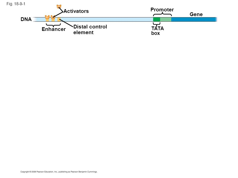 Fig. 18-9-1 Enhancer TATA box Promoter Activators DNA Gene Distal control element
