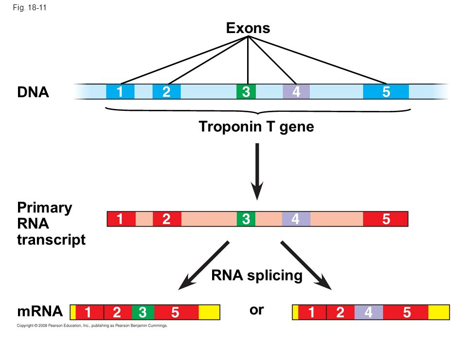 Fig. 18-11 or RNA splicing mRNA Primary RNA transcript Troponin T gene Exons DNA