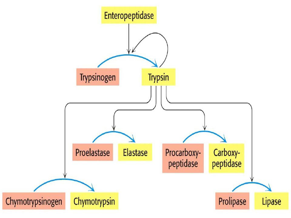 Multienzyme complexes - different enzymes that catalyze sequential reactions in the same pathway are bound together Multifunctional enzymes - different activities may be found on a single, multifunctional polypeptide chain Multienzyme Complexes and Multifunctional Enzymes