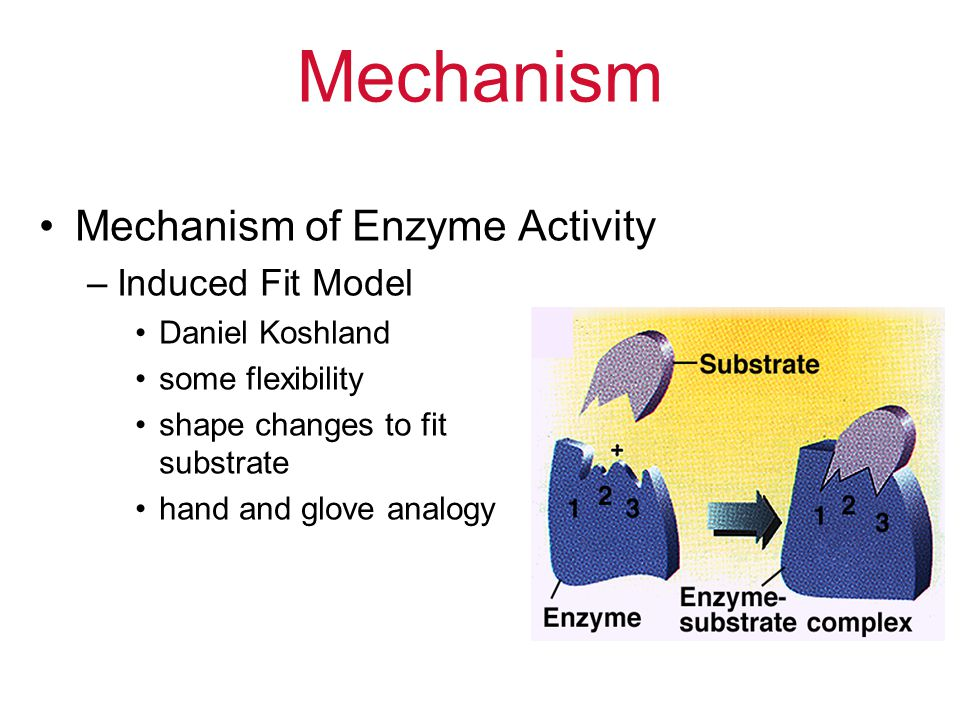 Mechanism Mechanism of Enzyme Activity –Induced Fit Model Daniel Koshland some flexibility shape changes to fit substrate hand and glove analogy