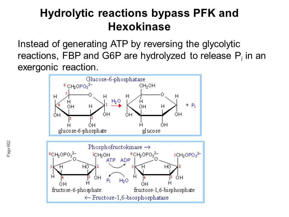 Hydrolytic reactions bypass PFK and Hexokinase Page 602 Instead of generating ATP by reversing the glycolytic reactions, FBP and G6P are hydrolyzed to