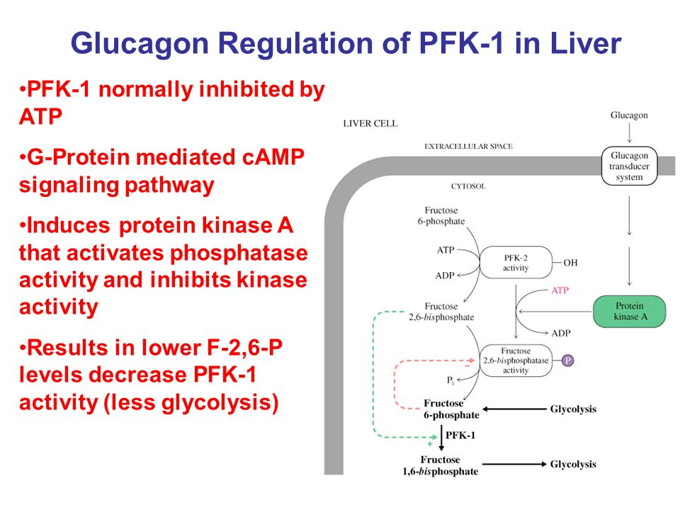Glucagon Regulation of PFK-1 in Liver PFK-1 normally inhibited by ATP G-Protein mediated cAMP signaling pathway Induces protein kinase A that activate