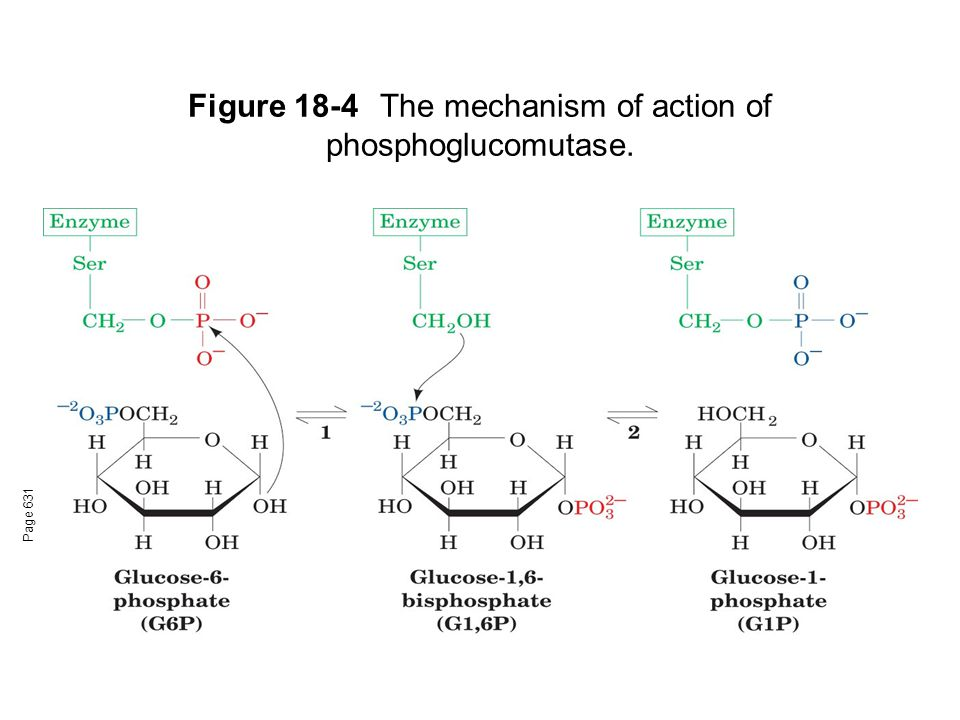 Figure 18-4The mechanism of action of phosphoglucomutase. Page 631