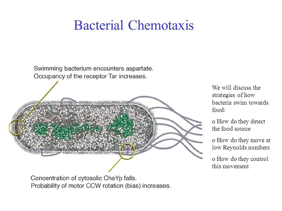 Bacterial Chemotaxis We will discuss the strategies of how bacteria swim towards food: o How do they detect the food source o How do they move at low Reynolds numbers o How do they control this movement