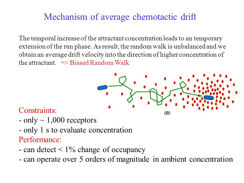 Mechanism of average chemotactic drift The temporal increase of the attractant concentration leads to an temporary extension of the run phase.