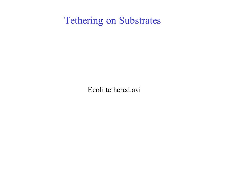 Tethering on Substrates Ecoli tethered.avi