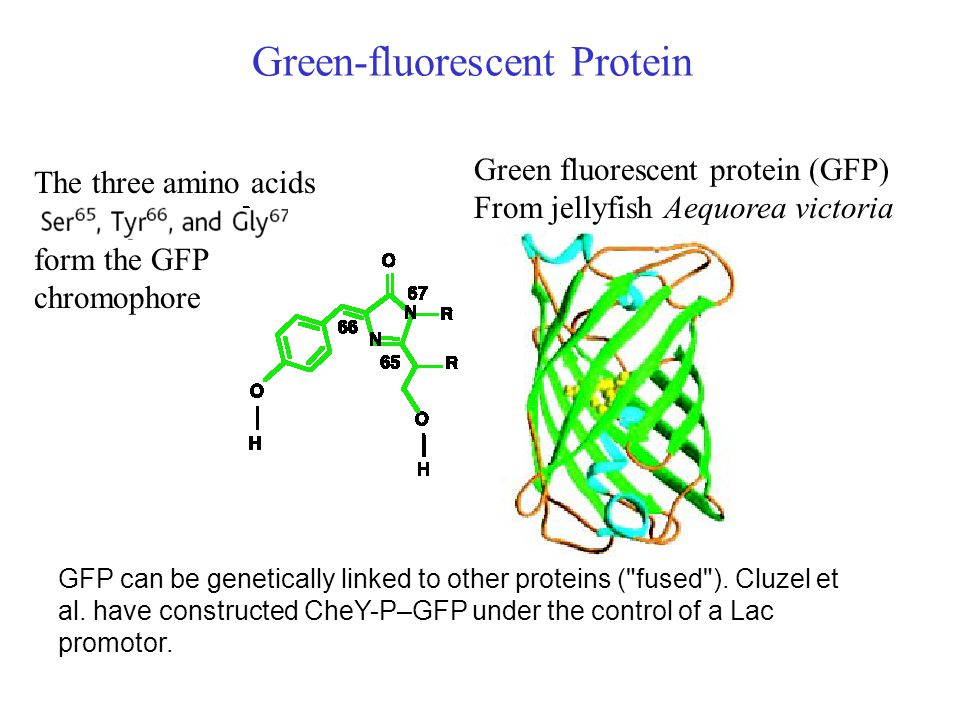 Green-fluorescent Protein The three amino acids form the GFP chromophore Green fluorescent protein (GFP) From jellyfish Aequorea victoria GFP can be genetically linked to other proteins ( fused ).