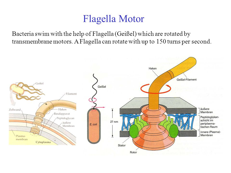 Flagella Motor Bacteria swim with the help of Flagella (Geißel) which are rotated by transmembrane motors.