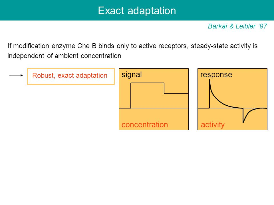 Exact adaptation Barkai & Leibler '97 If modification enzyme Che B binds only to active receptors, steady-state activity is independent of ambient concentration Robust, exact adaptation signal response concentration activity