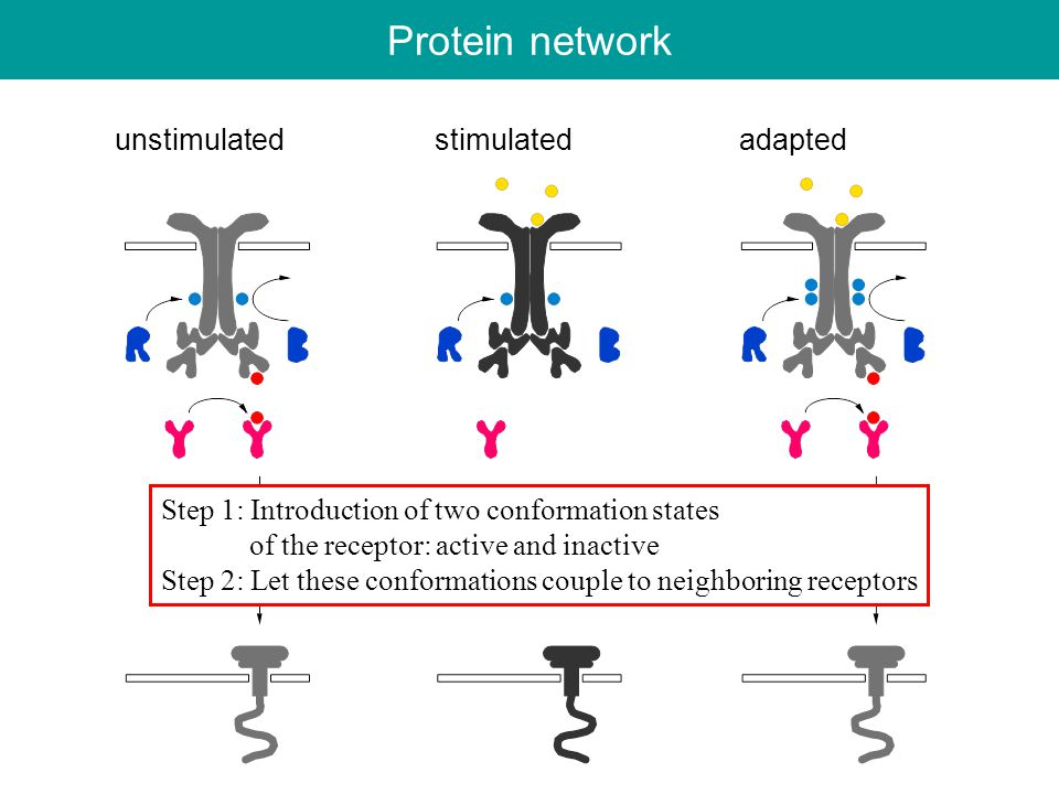 Protein network unstimulated stimulated adapted Step 1: Introduction of two conformation states of the receptor: active and inactive Step 2: Let these conformations couple to neighboring receptors