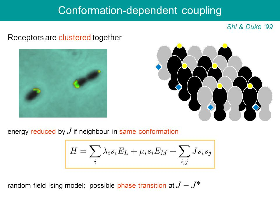 Shi & Duke '99 Receptors are clustered together energy reduced by J if neighbour in same conformation random field Ising model: possible phase transition at J = J* Conformation-dependent coupling