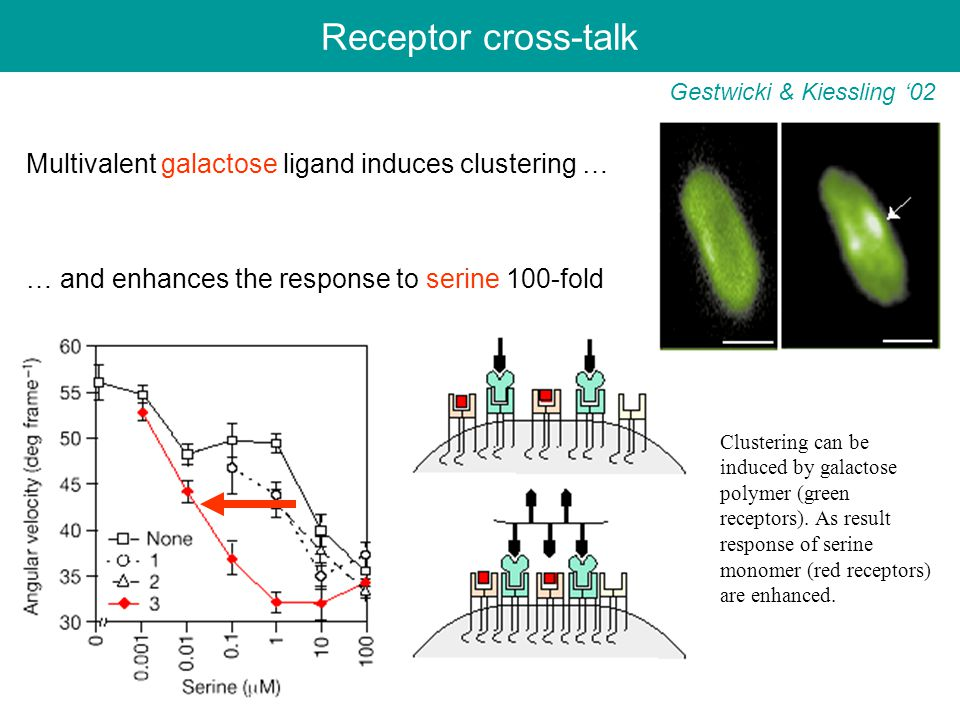 Receptor cross-talk Gestwicki & Kiessling '02 Multivalent galactose ligand induces clustering … … and enhances the response to serine 100-fold Clustering can be induced by galactose polymer (green receptors).