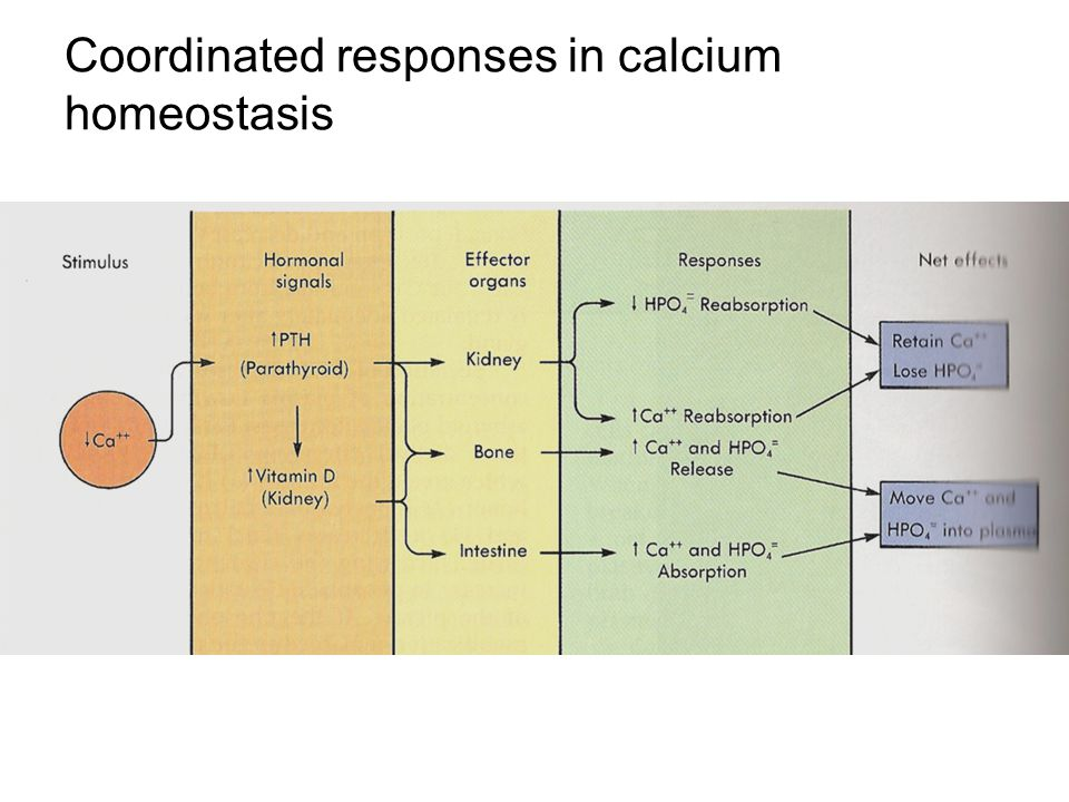 Coordinated responses in calcium homeostasis