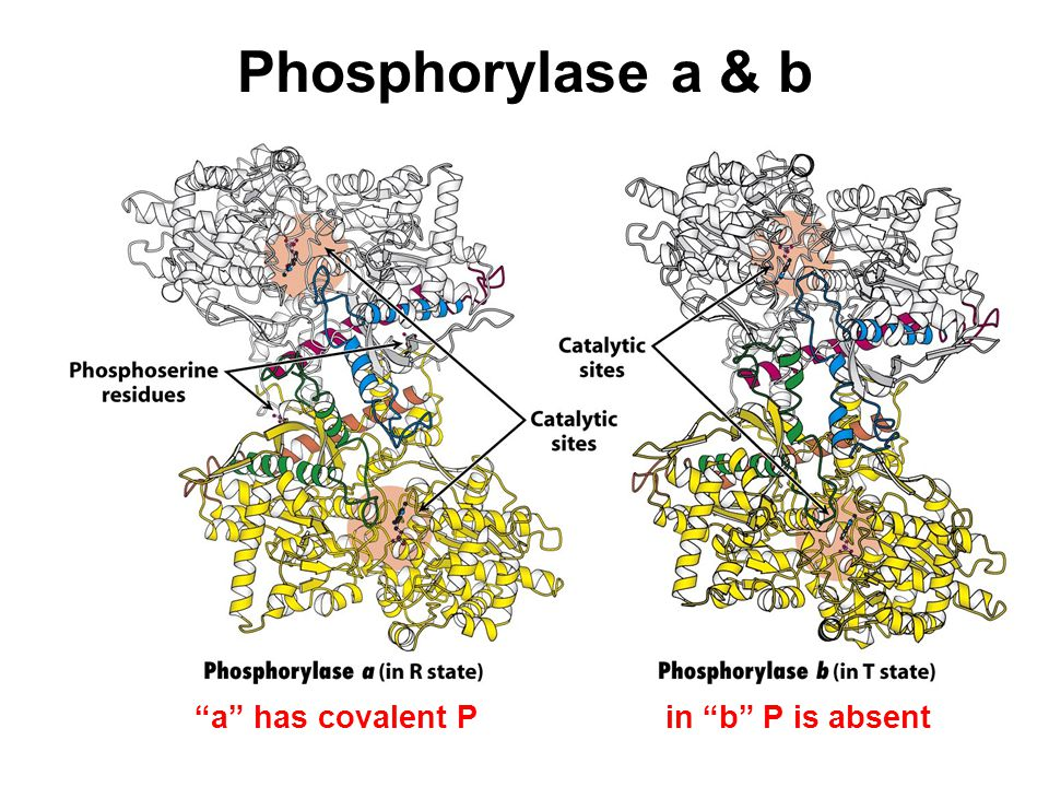 Phosphorylase a & b a has covalent P in b P is absent