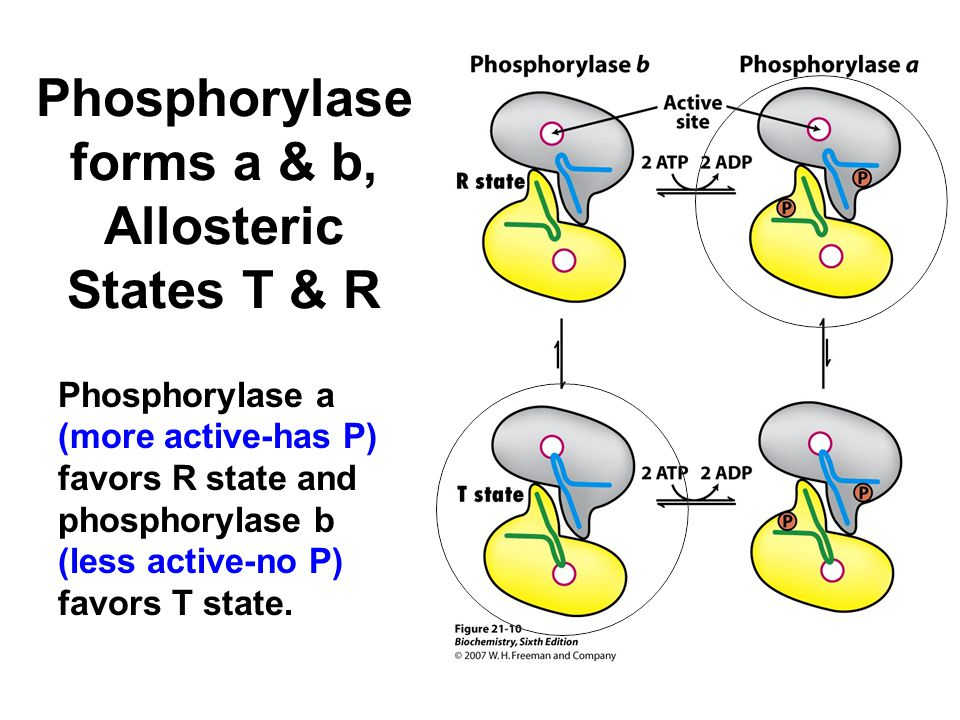Phosphorylase a (more active-has P) favors R state and phosphorylase b (less active-no P) favors T state.