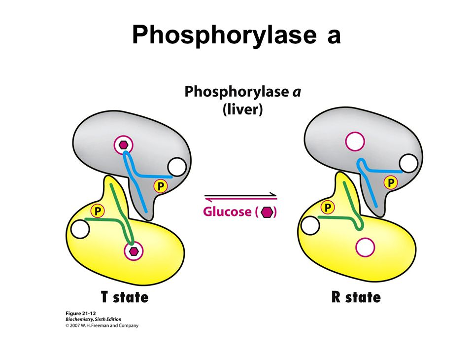 Phosphorylase a