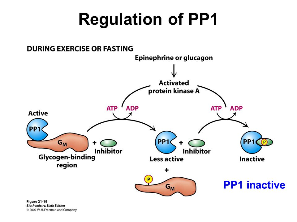 Regulation of PP1 PP1 inactive