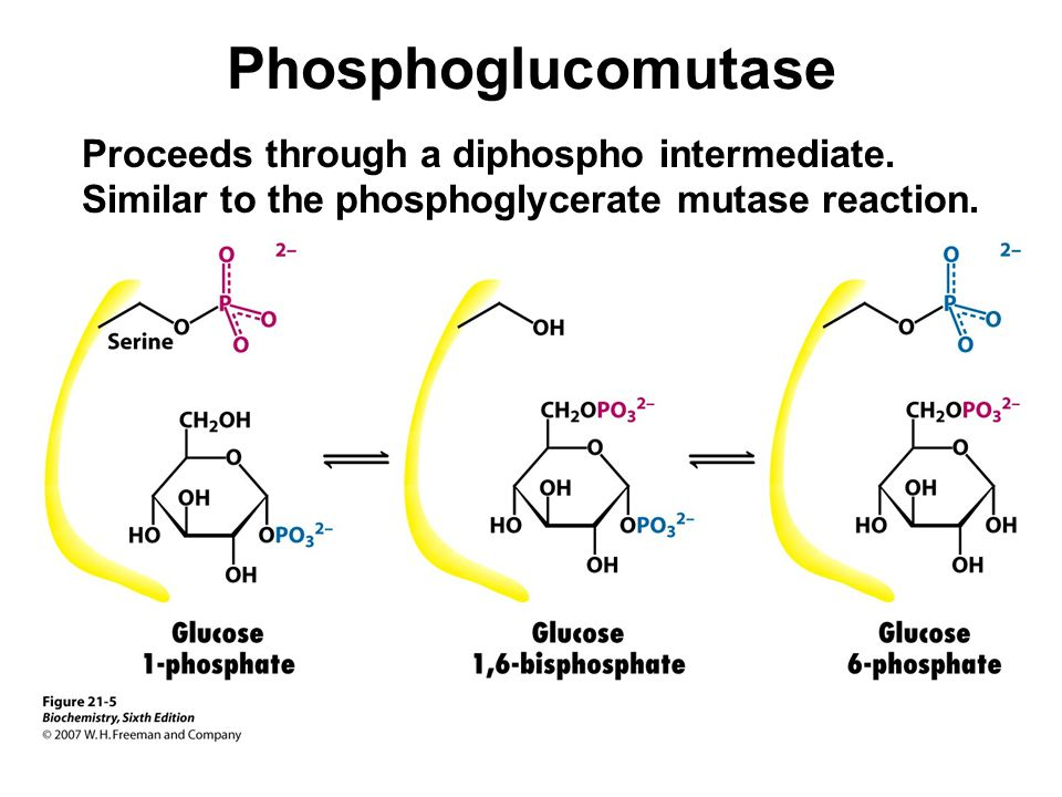 Glycogen Phosphorylase The enzyme is a dimer, PLP at each active site.