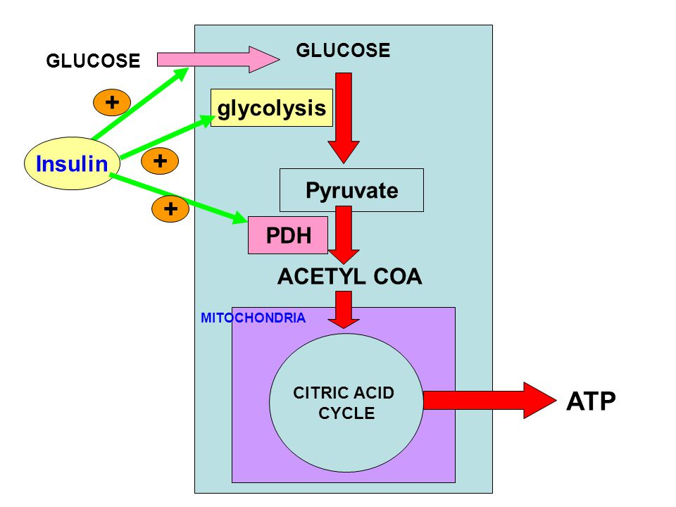 GLUCOSE Insulin + GLUCOSE glycolysis + ACETYL COA Pyruvate + PDH CITRIC ACID CYCLE MITOCHONDRIA ATP