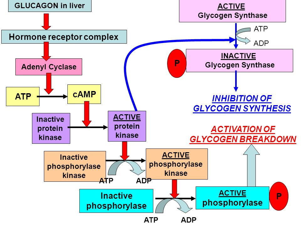 GLUCAGON in liver Hormone receptor complex Adenyl Cyclase ATP cAMP Inactive protein kinase ACTIVE protein kinase Inactive phosphorylase kinase ACTIVE phosphorylase kinase Inactive phosphorylase ACTIVE phosphorylase P ATP ADP ACTIVATION OF GLYCOGEN BREAKDOWN ACTIVE Glycogen Synthase INACTIVE Glycogen Synthase ATP ADP INHIBITION OF GLYCOGEN SYNTHESIS P
