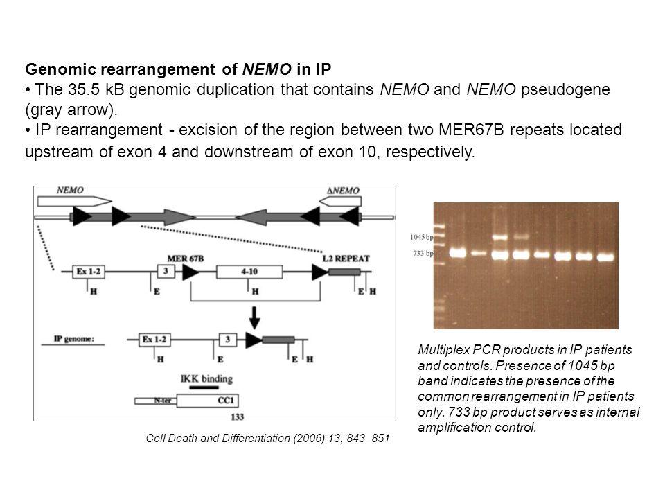 Genomic rearrangement of NEMO in IP The 35.5 kB genomic duplication that contains NEMO and NEMO pseudogene (gray arrow). IP rearrangement - excision o