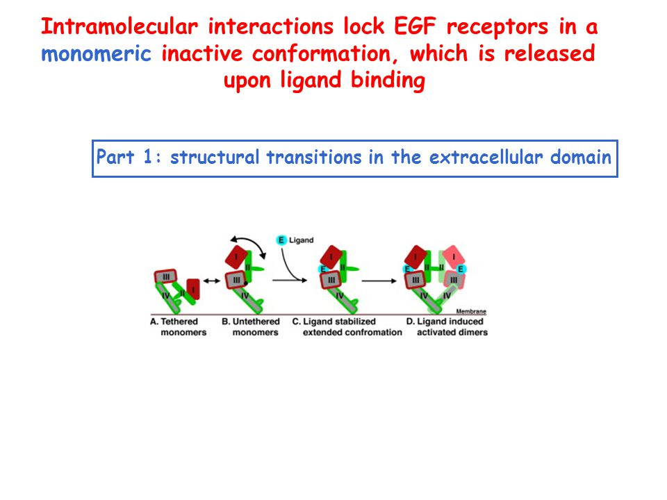 Intramolecular interactions lock EGF receptors in a monomeric inactive conformation, which is released upon ligand binding Part 1: structural transitions in the extracellular domain