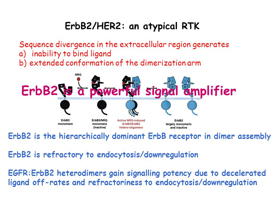 ErbB2/HER2: an atypical RTK Sequence divergence in the extracellular region generates a) inability to bind ligand b)extended conformation of the dimerization arm ErbB2 is the hierarchically dominant ErbB receptor in dimer assembly ErbB2 is refractory to endocytosis/downregulation EGFR:ErbB2 heterodimers gain signalling potency due to decelerated ligand off-rates and refractoriness to endocytosis/downregulation ErbB2 is a powerful signal amplifier