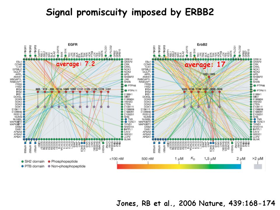 Signal promiscuity imposed by ERBB2 average: 7.2 average: 17 Jones, RB et al., 2006 Nature, 439:168-174