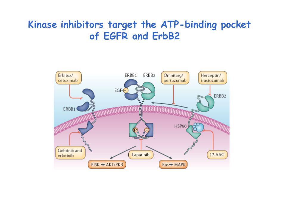 Kinase inhibitors target the ATP-binding pocket of EGFR and ErbB2