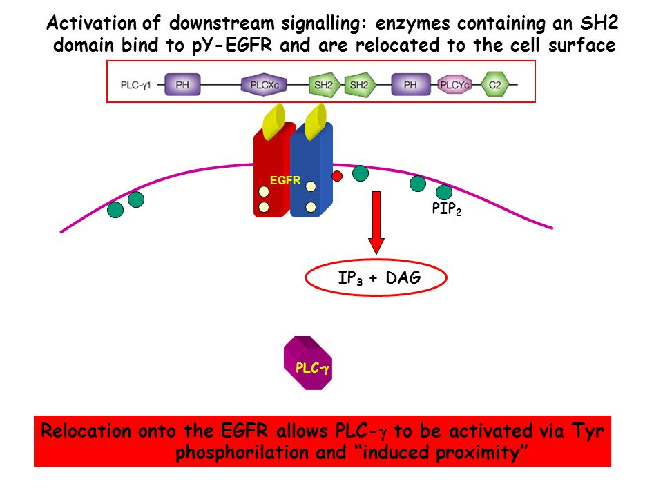 EGFR PLC -  IP 3 + DAG Activation of downstream signalling: enzymes containing an SH2 domain bind to pY-EGFR and are relocated to the cell surface Relocation onto the EGFR allows PLC-  to be activated via Tyr phosphorilation and induced proximity PIP 2