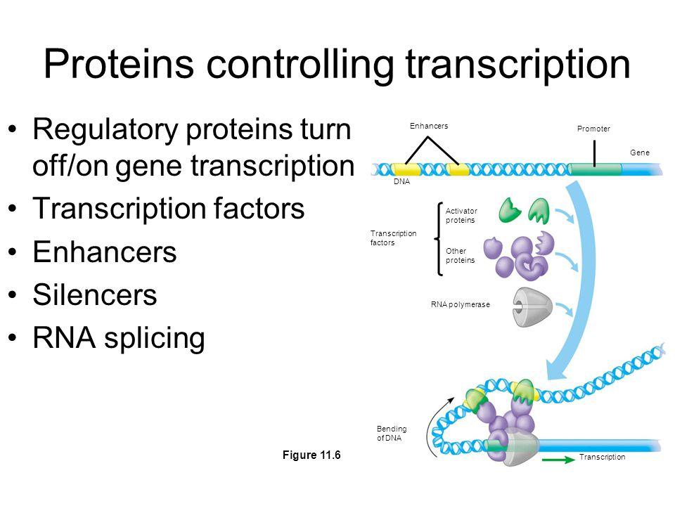 Proteins controlling transcription Regulatory proteins turn off/on gene transcription Transcription factors Enhancers Silencers RNA splicing Enhancers Promoter Gene DNA Activator proteins Other proteins Transcription factors RNA polymerase Bending of DNA Transcription Figure 11.6