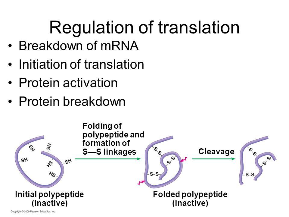 Regulation of translation Breakdown of mRNA Initiation of translation Protein activation Protein breakdown Folding of polypeptide and formation of S—S linkages Initial polypeptide (inactive) Folded polypeptide (inactive) Cleavage