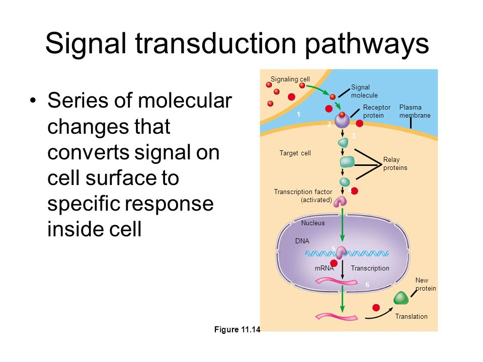 Signal transduction pathways Series of molecular changes that converts signal on cell surface to specific response inside cell Signaling cell Signal molecule Receptor protein Plasma membrane Target cell Relay proteins Transcription factor (activated) Transcription Nucleus DNA mRNA New protein Translation 1 2 3 4 5 6 Figure 11.14