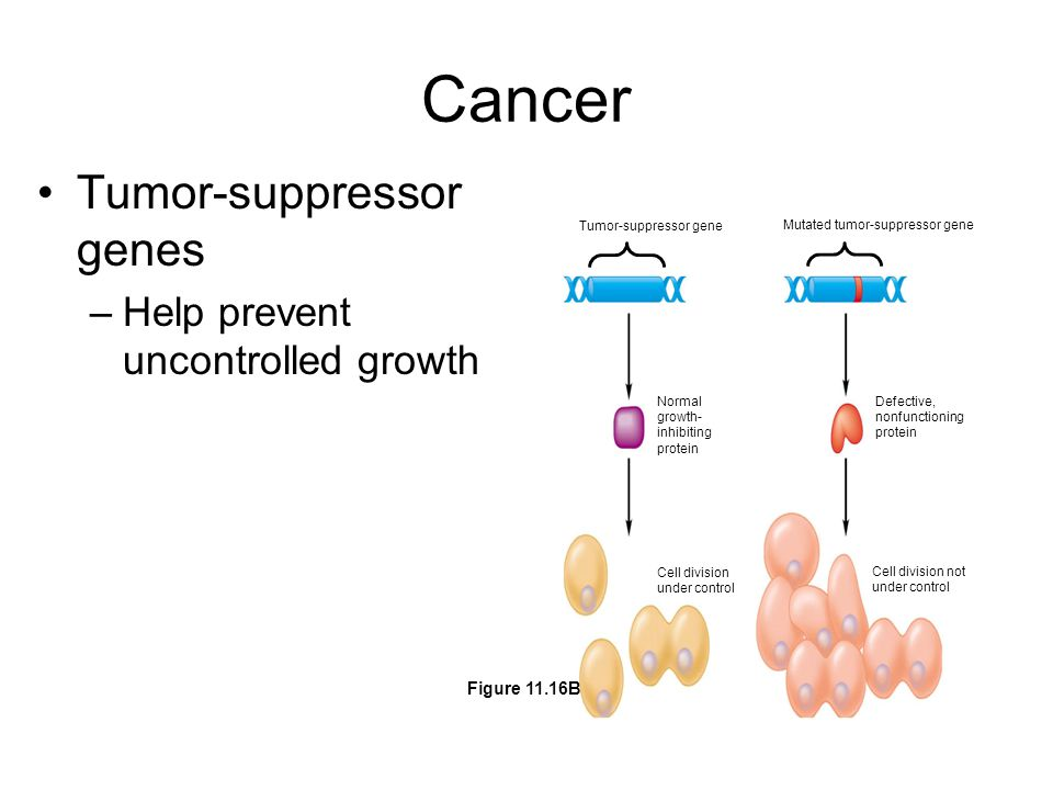 Cancer Tumor-suppressor genes –Help prevent uncontrolled growth Tumor-suppressor gene Mutated tumor-suppressor gene Normal growth- inhibiting protein Cell division under control Defective, nonfunctioning protein Cell division not under control Figure 11.16B