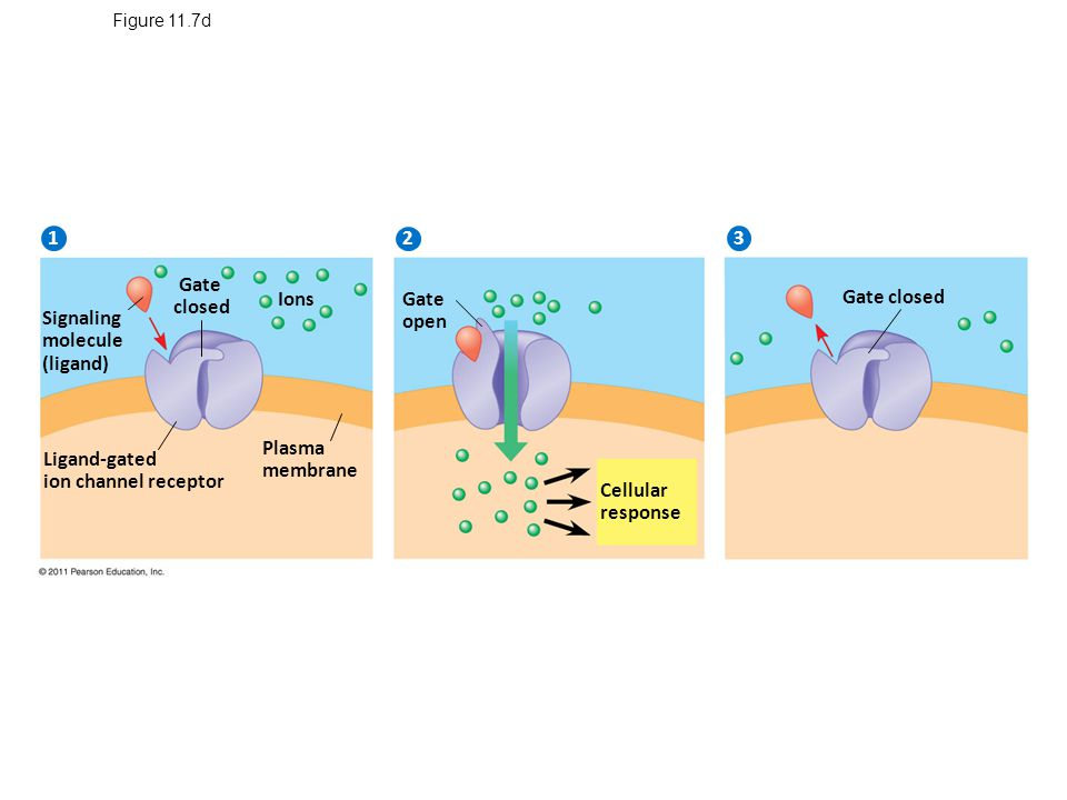 Figure 11.7d Signaling molecule (ligand) 2 1 3 Gate closed Ions Ligand-gated ion channel receptor Plasma membrane Gate open Cellular response Gate closed