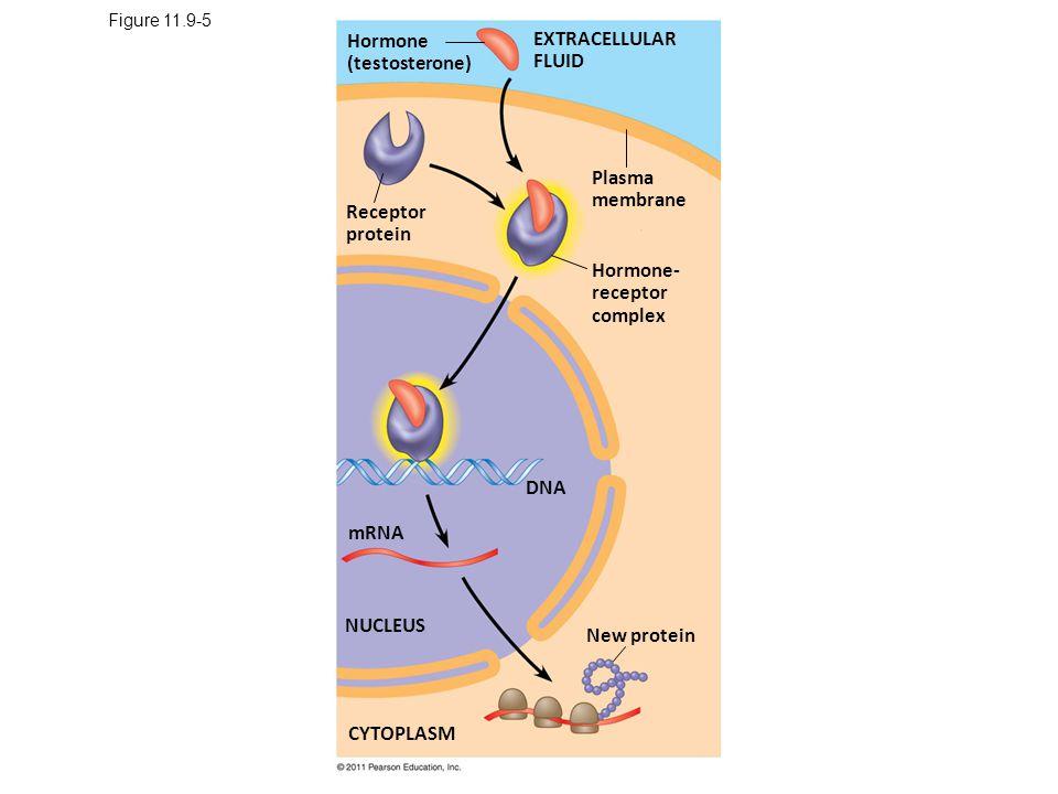 Figure 11.9-5 Hormone (testosterone) Receptor protein Plasma membrane EXTRACELLULAR FLUID Hormone- receptor complex DNA mRNA NUCLEUS CYTOPLASM New protein