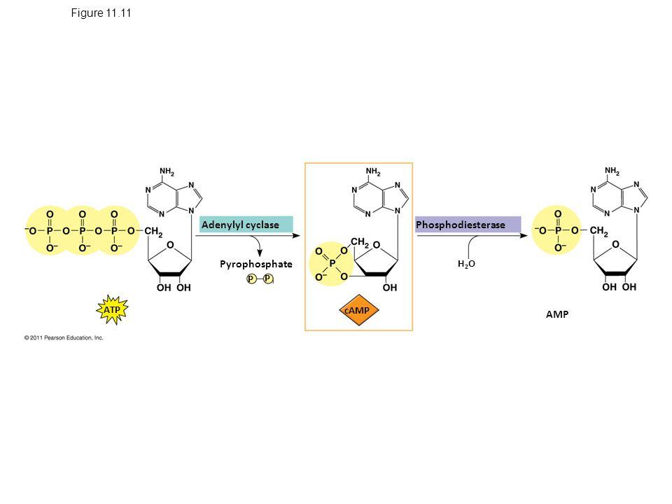 Figure 11.11 Adenylyl cyclase Phosphodiesterase Pyrophosphate AMP H2OH2O ATP P i P cAMP